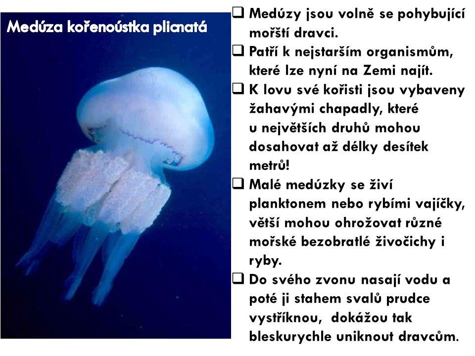  Medúzy jsou volně se pohybující mořští dravci.  Patří k nejstarším organismům, které lze nyní na Zemi najít.  K lovu své kořisti jsou vybaveny žah