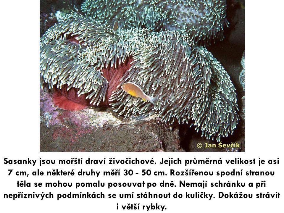 Sasanky jsou mořští draví živočichové. Jejich průměrná velikost je asi 7 cm, ale některé druhy měří 30 - 50 cm. Rozšířenou spodní stranou těla se moho
