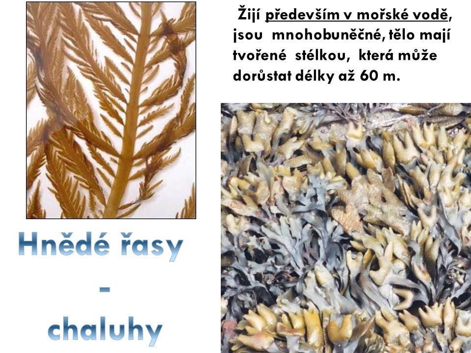 Žijí především v mořské vodě, jsou mnohobuněčné, tělo mají tvořené stélkou, která může dorůstat délky až 60 m.