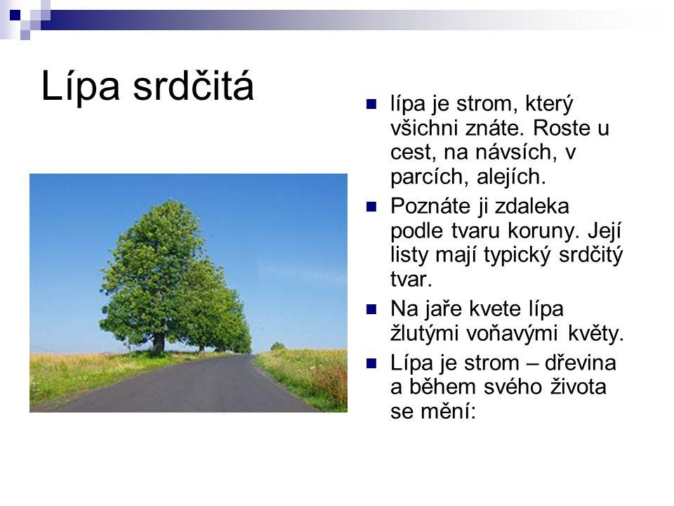 Lípa srdčitá lípa je strom, který všichni znáte.Roste u cest, na návsích, v parcích, alejích.