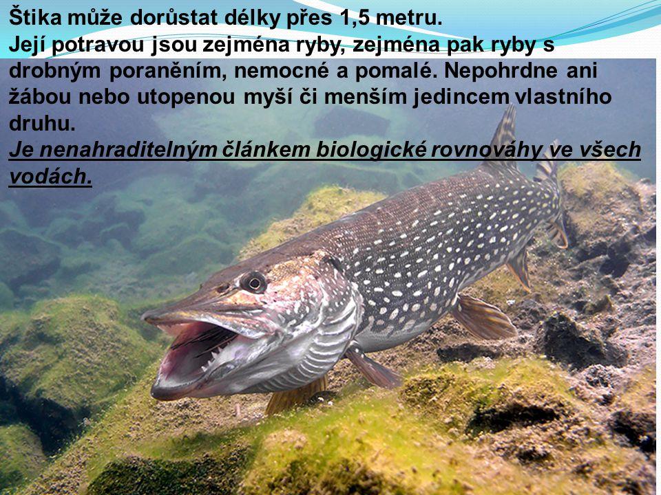 Štika může dorůstat délky přes 1,5 metru. Její potravou jsou zejména ryby, zejména pak ryby s drobným poraněním, nemocné a pomalé. Nepohrdne ani žábou