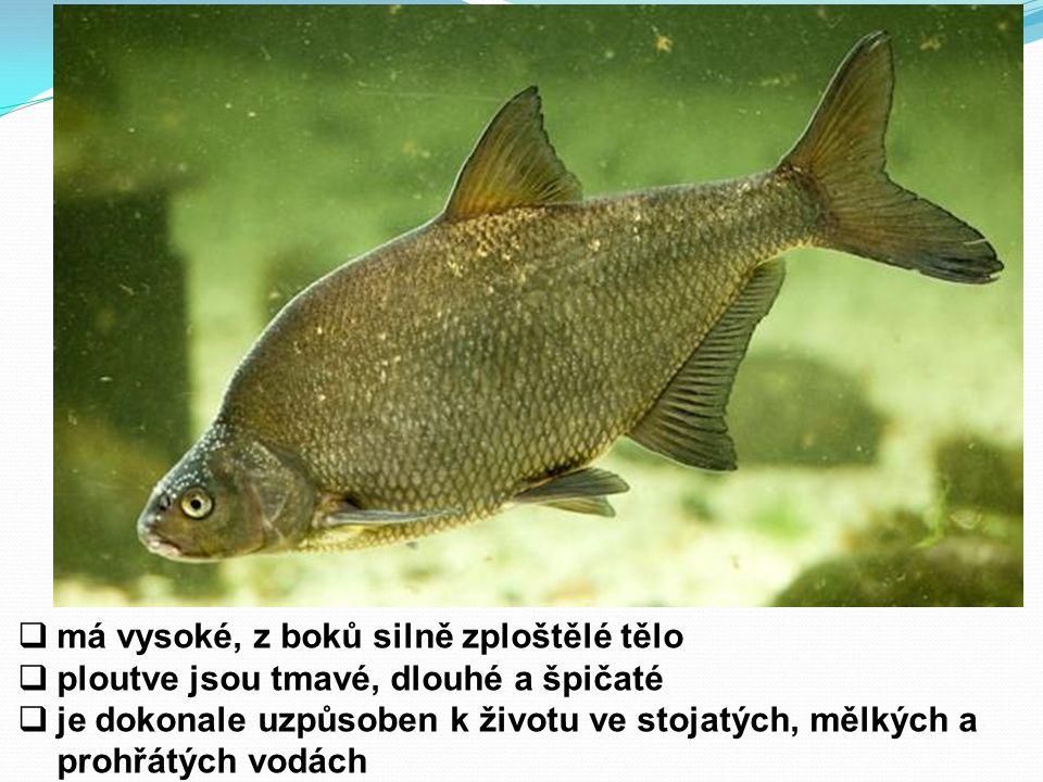  má vysoké, z boků silně zploštělé tělo  ploutve jsou tmavé, dlouhé a špičaté  je dokonale uzpůsoben k životu ve stojatých, mělkých a prohřátých vodách