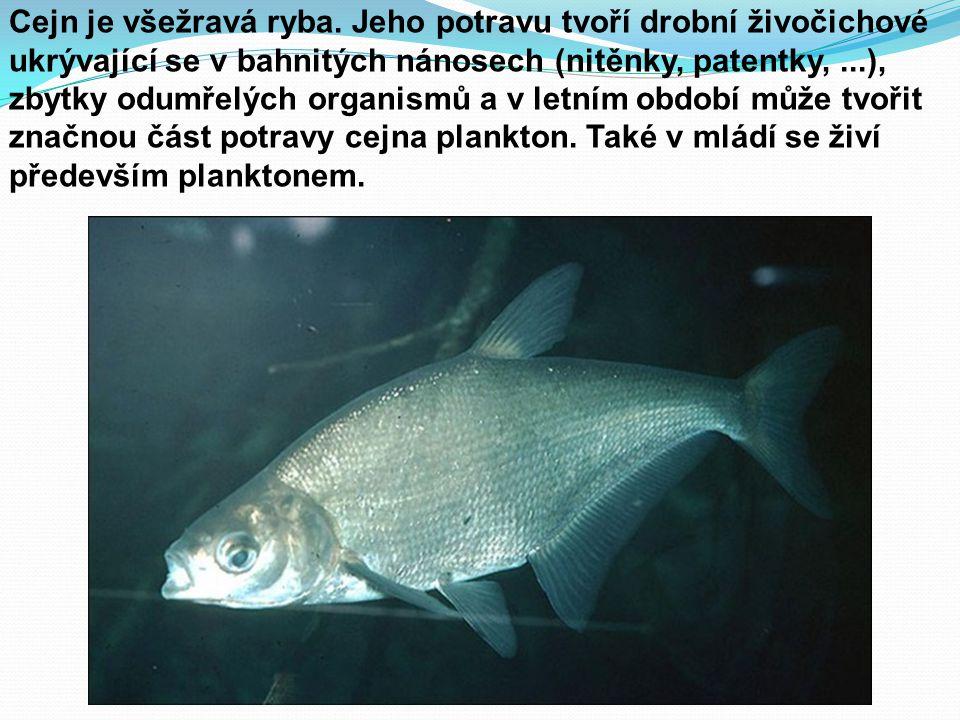 Cejn je všežravá ryba. Jeho potravu tvoří drobní živočichové ukrývající se v bahnitých nánosech (nitěnky, patentky,...), zbytky odumřelých organismů a