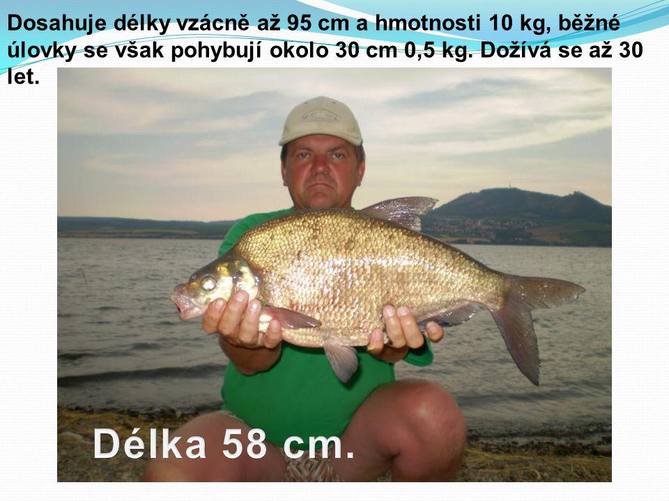 Dosahuje délky vzácně až 95 cm a hmotnosti 10 kg, běžné úlovky se však pohybují okolo 30 cm 0,5 kg.