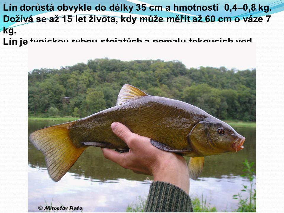 Lín dorůstá obvykle do délky 35 cm a hmotnosti 0,4–0,8 kg. Dožívá se až 15 let života, kdy může měřit až 60 cm o váze 7 kg. Lín je typickou rybou stoj