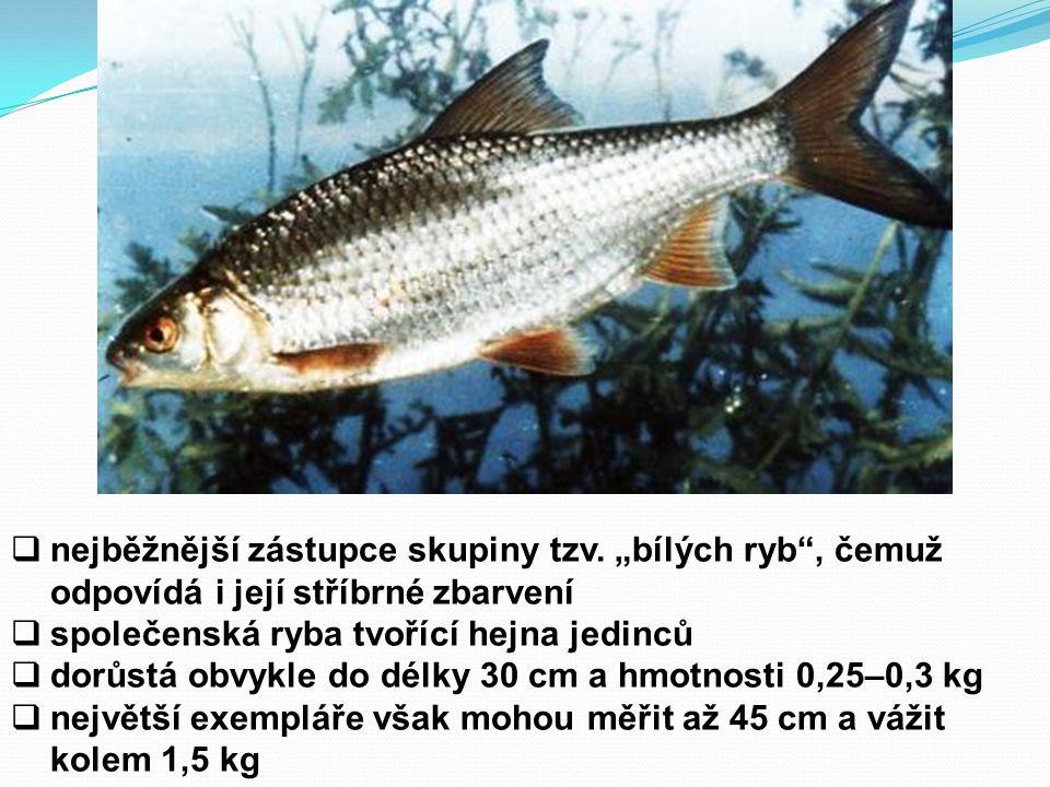 """ nejběžnější zástupce skupiny tzv. """"bílých ryb"""", čemuž odpovídá i její stříbrné zbarvení  společenská ryba tvořící hejna jedinců  dorůstá obvykle d"""