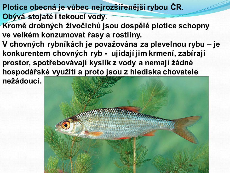 Plotice obecná je vůbec nejrozšířenější rybou ČR. Obývá stojaté i tekoucí vody. Kromě drobných živočichů jsou dospělé plotice schopny ve velkém konzum