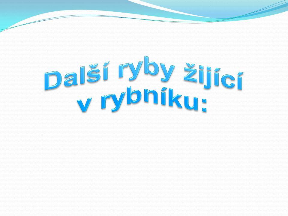 Plotice obecná je vůbec nejrozšířenější rybou ČR.Obývá stojaté i tekoucí vody.