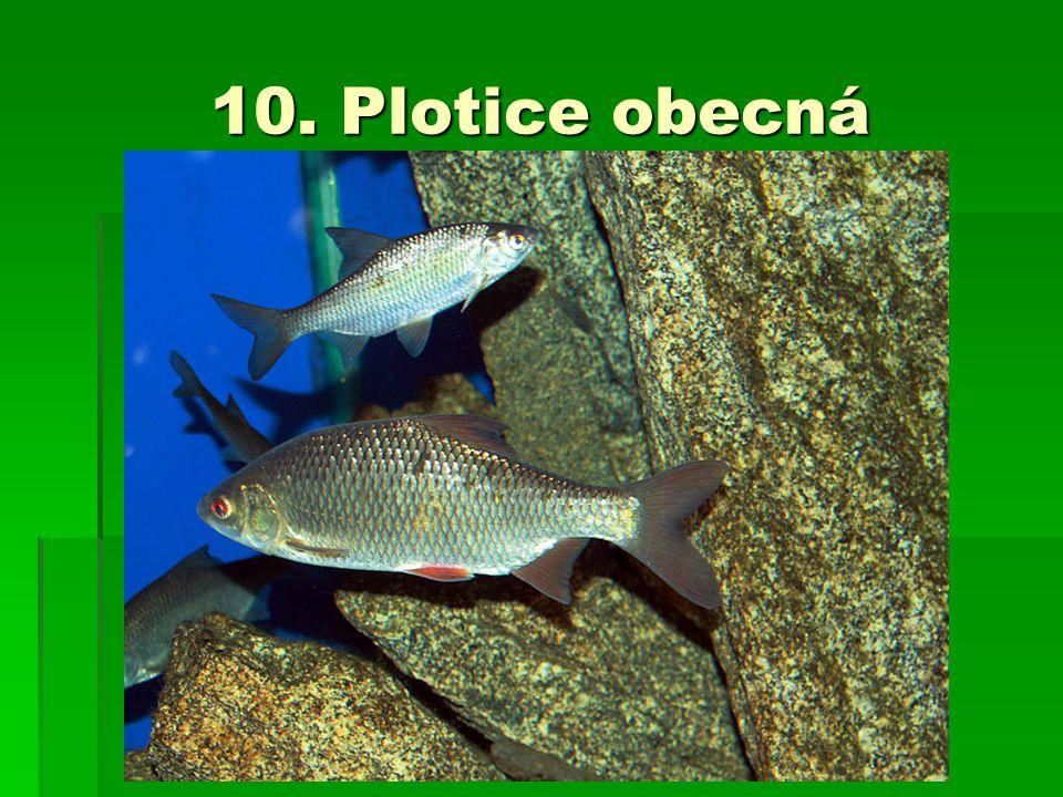 10. Plotice obecná
