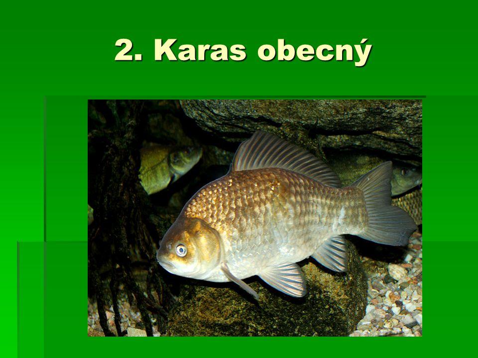2. Karas obecný
