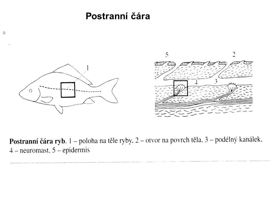 Systém třídy paprskoploutví Podtřída : Chrupavčití (Chondrostei) Podtřída : Kostnatí (Neopterygii)