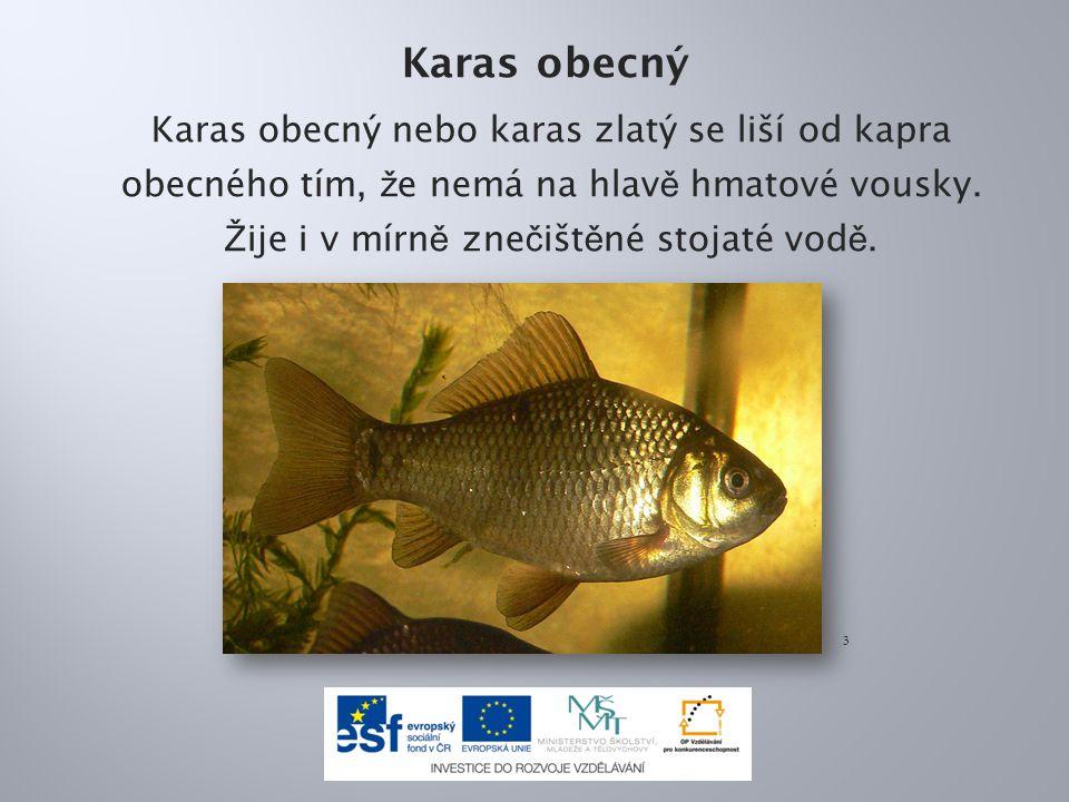 Karas obecný Karas obecný nebo karas zlatý se liší od kapra obecného tím, ž e nemá na hlav ě hmatové vousky.