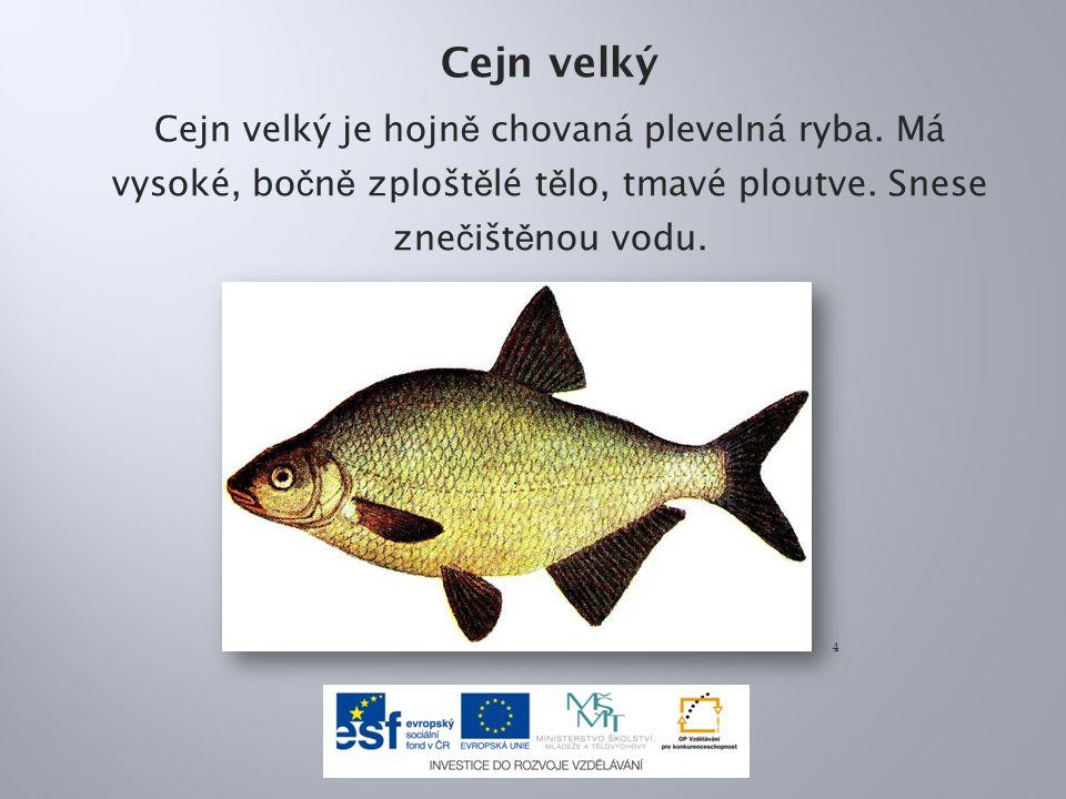Cejn velký Cejn velký je hojn ě chovaná plevelná ryba.