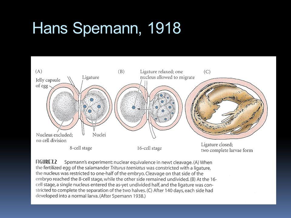 Hans Spemann, 1918