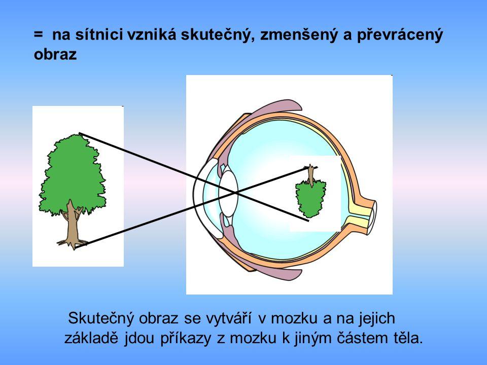= na sítnici vzniká skutečný, zmenšený a převrácený obraz Skutečný obraz se vytváří v mozku a na jejich základě jdou příkazy z mozku k jiným částem těla.
