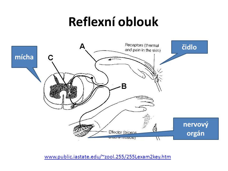 Reflexní oblouk www.public.iastate.edu/~zool.255/255Lexam2key.htm čidlo nervový orgán mícha