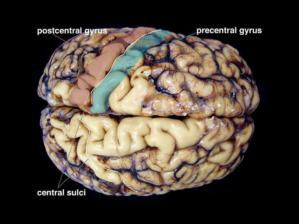 Vyšší nervová činnost vyšší nervová činnost- schopnost vytvářet složité podmíněné reflexy (myšlení, učení, ….) - I.P.