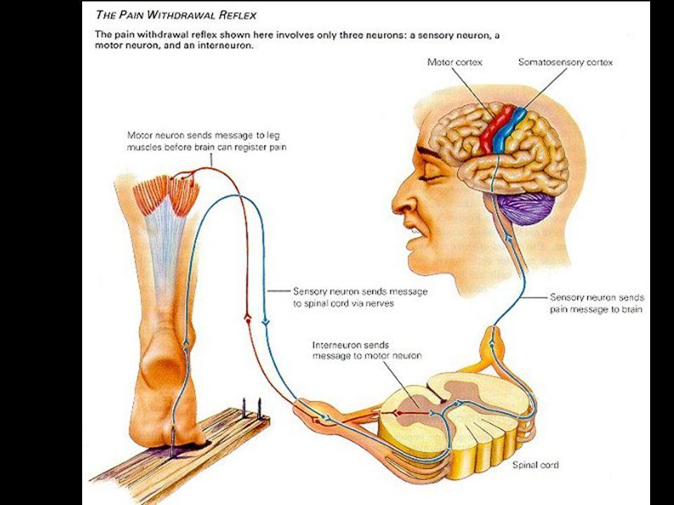 Obvodová nervová soustava - tvořena nervy, které dělíme podle: a) místa vstupu/výstupu: - nervy mozkové – 12 párů hlavových nervů (inervují svaly obličeje, očí) - nervy mozkové – 12 párů hlavových nervů (inervují svaly obličeje, očí) - nervy míšní – 31 párů (inervují kosterní svalstvo) - nervy míšní – 31 párů (inervují kosterní svalstvo) b) podle směru vedení vzruchu: b) podle směru vedení vzruchu: - dostředivé nervy - přivádí vzruchy od smysl.