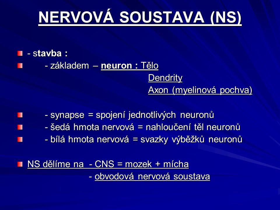 NERVOVÁ SOUSTAVA (NS) - stavba : - základem – neuron : Tělo Dendrity Dendrity Axon (myelinová pochva) Axon (myelinová pochva) - synapse = spojení jednotlivých neuronů - šedá hmota nervová = nahloučení těl neuronů - bílá hmota nervová = svazky výběžků neuronů NS dělíme na - CNS = mozek + mícha - obvodová nervová soustava - obvodová nervová soustava