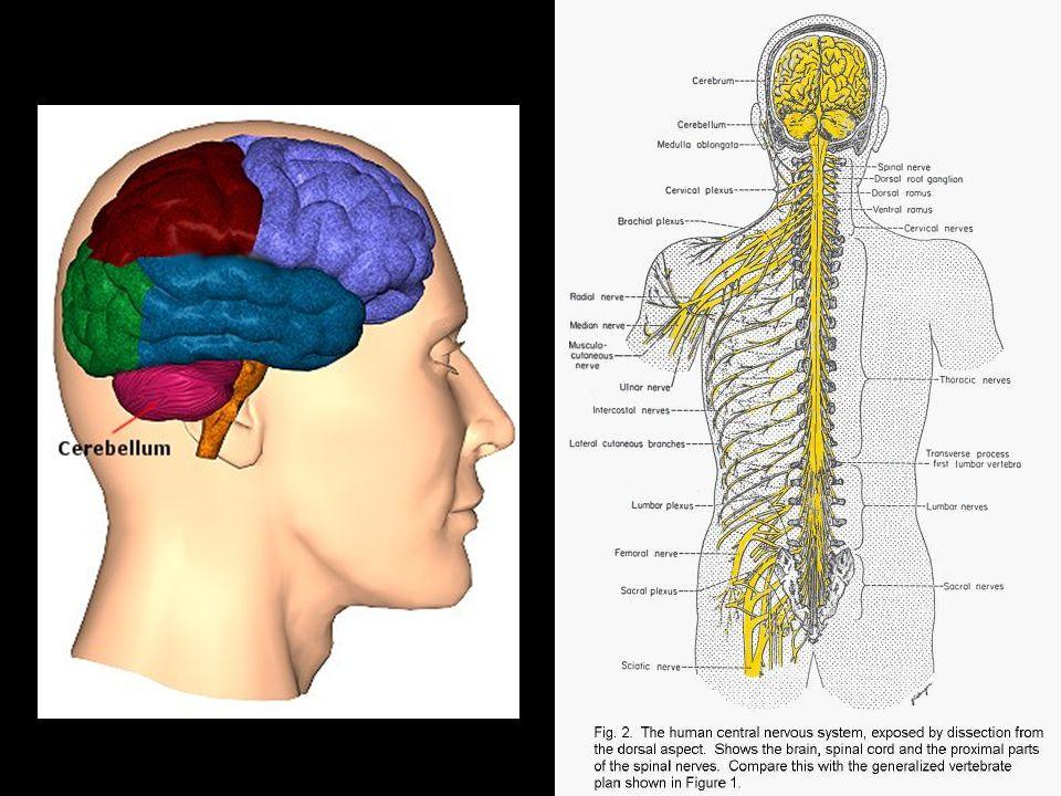 1) MÍCHA - chráněná páteří - od týlního otvoru po bederní obratle - meziobratlovými otvory z míchy vystupuje 31 párů míšních nervů - převádí impulsy z receptorů do mozku a z mozku k efektorům - je sídlem některých nepodmíněných reflexů (např.