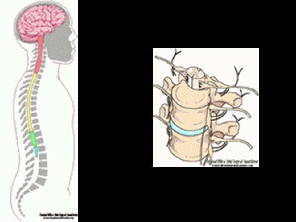 2) MOZEK - 3 obaly (= pleny: 1 tvrdá + 2 měkké: pavučnice a omozečnice (prokrvená)), mezi měkkými plenami je prostor s mozkomíšním mokem - části mozku: a) prodloužená mícha – dýchací a srdeční centrum, centrum vrozených reflexů (sání, polykání, slinění, zvracení, …) b) mozeček – řídí rovnováhu těla a ovlivňuje přesnost pohybů c) most – spojuje prodlouženou míchu a další části mozku d) střední mozek – nejmenší, sbíhají se v něm nervové dráhy, řídí činnost nervů pro pohyb očí e) mezimozek – řízení tělesné teploty, regulace spánku a bdění, propojuje hormonální a nervovou soustavu f) koncový mozek - největší, dvě polokoule (hemisféry), na povrchu je šedá hmota (kůra), uvnitř je bílá hmota šedá hmota (kůra), uvnitř je bílá hmota - kůra je rozčleněna brázdami v laloky (čelní, temenní, týlní a spánkový) - z mozku vystupuje 12 mozkových nervů