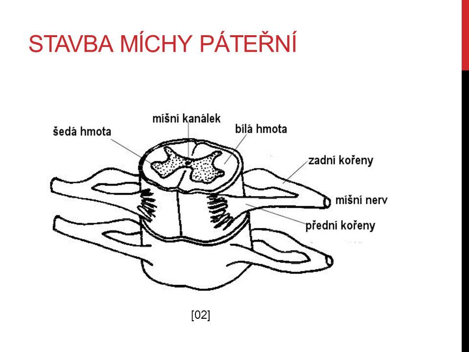 ČINNOST MÍCHY PÁTEŘNÍ Zadní kořeny míšní přivádějí vzruchy do míchy.