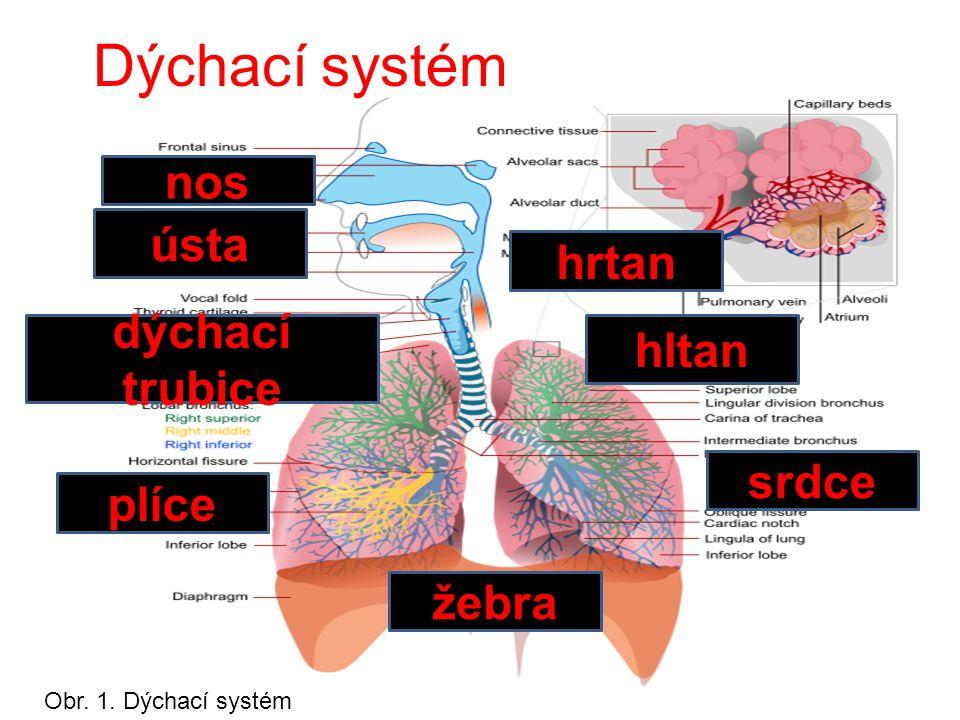 Dýchací systém nos ústa hltan hrtan žebra srdce plíce dýchací trubice Obr. 1. Dýchací systém