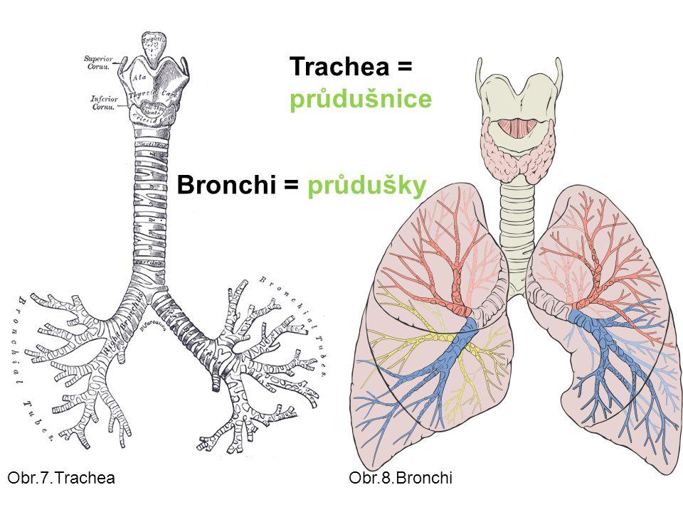 Bronchi = průdušky Trachea = průdušnice Obr.8.BronchiObr.7.Trachea