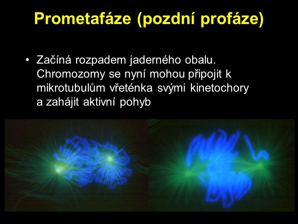 Prometafáze (pozdní profáze) Začíná rozpadem jaderného obalu. Chromozomy se nyní mohou připojit k mikrotubulům vřeténka svými kinetochory a zahájit ak