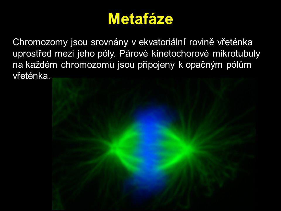 Metafáze Chromozomy jsou srovnány v ekvatoriální rovině vřeténka uprostřed mezi jeho póly. Párové kinetochorové mikrotubuly na každém chromozomu jsou