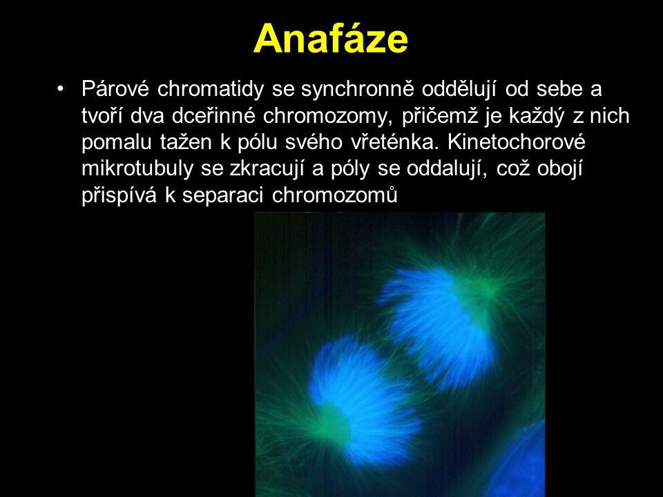 Anafáze Párové chromatidy se synchronně oddělují od sebe a tvoří dva dceřinné chromozomy, přičemž je každý z nich pomalu tažen k pólu svého vřeténka.