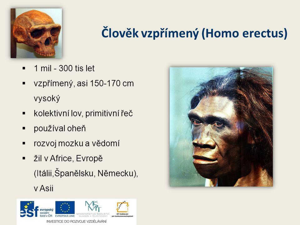 Člověk vzpřímený (Homo erectus) 11 mil - 300 tis let vvzpřímený, asi 150-170 cm vysoký kkolektivní lov, primitivní řeč ppoužíval oheň rrozvo
