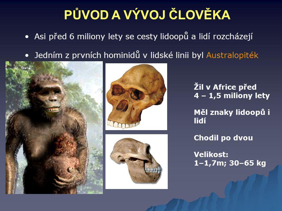 PŮVOD A VÝVOJ ČLOVĚKA Asi před 6 miliony lety se cesty lidoopů a lidí rozcházejí Jedním z prvních hominidů v lidské linii byl Australopiték Žil v Afri
