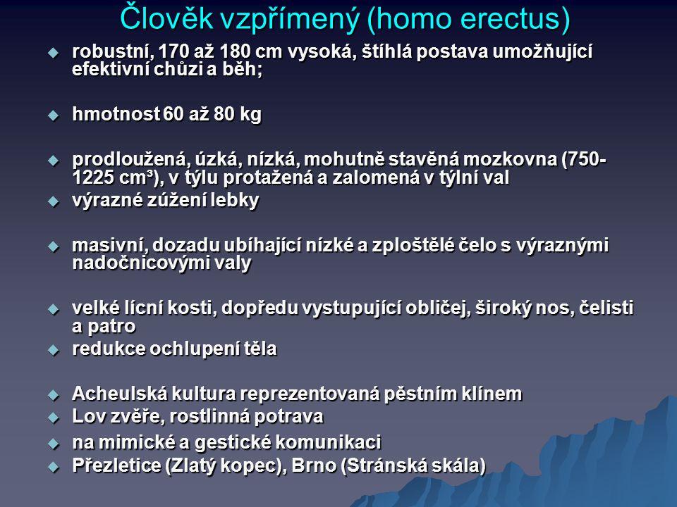 Člověk vzpřímený (homo erectus)  robustní, 170 až 180 cm vysoká, štíhlá postava umožňující efektivní chůzi a běh;  hmotnost 60 až 80 kg  prodloužen