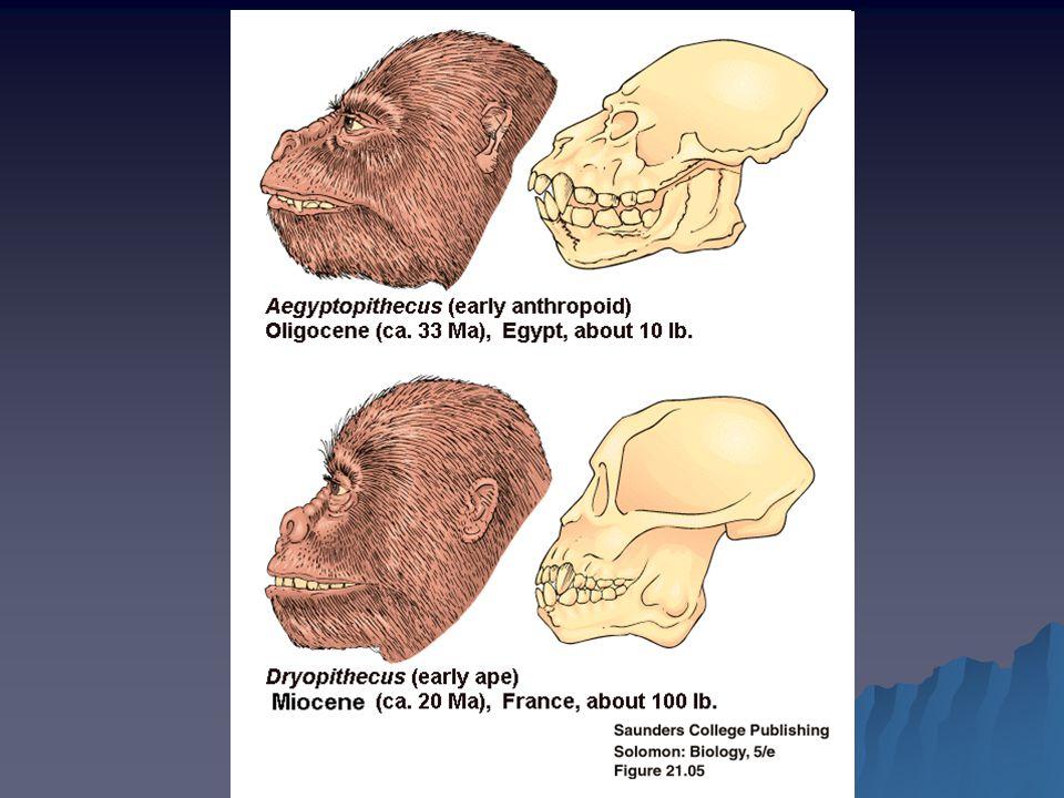 PŮVOD A VÝVOJ ČLOVĚKA Asi před 6 miliony lety se cesty lidoopů a lidí rozcházejí Následkem změn podnebí se africké deštné pralesy přeměnily na savany a tím se změnily i životní podmínky předchůdců člověka  Pokuste se odhadnout, jaké změny museli předkové člověka prodělat :