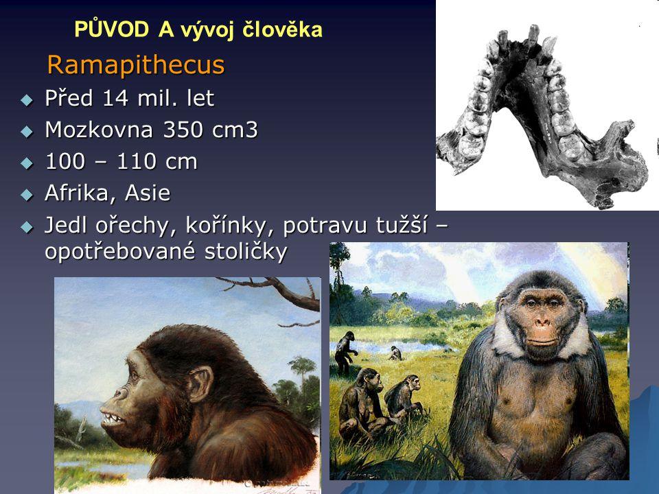 PŮVOD A vývoj člověka Ramapithecus Ramapithecus  Před 14 mil. let  Mozkovna 350 cm3  100 – 110 cm  Afrika, Asie  Jedl ořechy, kořínky, potravu tu