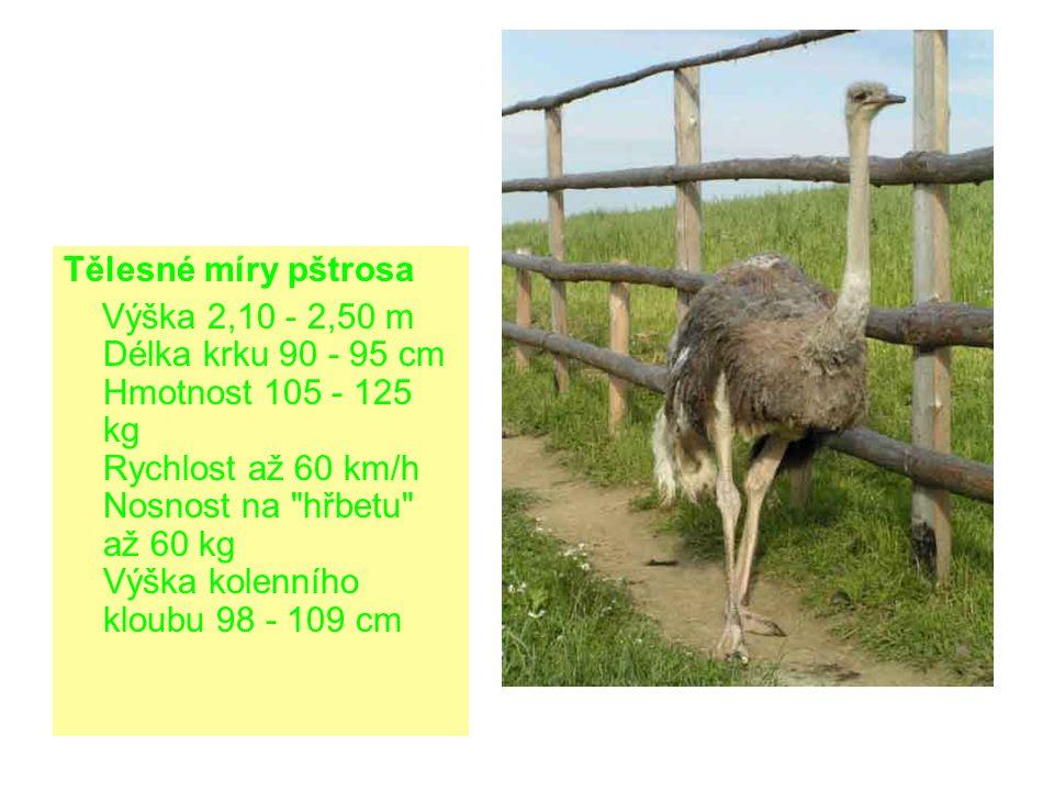 Tělesné míry pštrosa Výška 2,10 - 2,50 m Délka krku 90 - 95 cm Hmotnost 105 - 125 kg Rychlost až 60 km/h Nosnost na