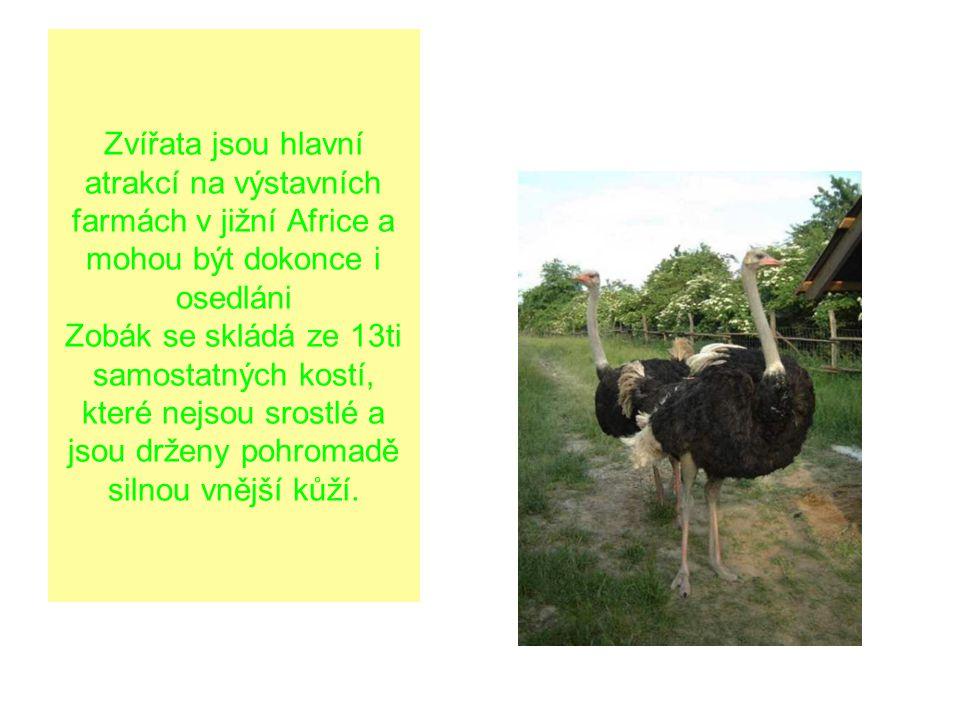 Zvířata jsou hlavní atrakcí na výstavních farmách v jižní Africe a mohou být dokonce i osedláni Zobák se skládá ze 13ti samostatných kostí, které nejs