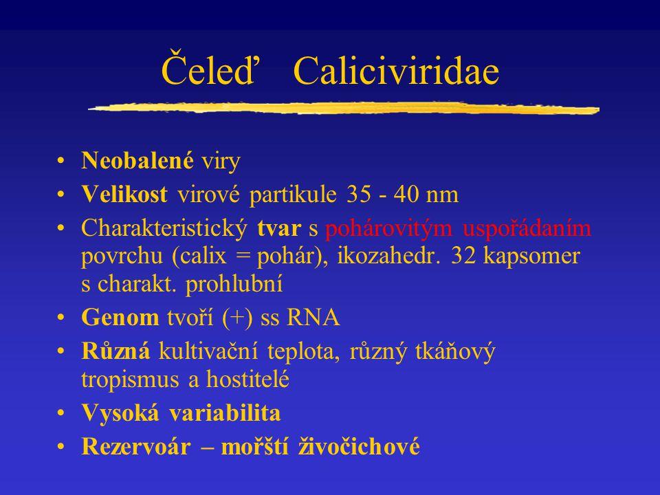 ČeleďCaliciviridae Neobalené viry Velikost virové partikule 35 - 40 nm Charakteristický tvar s pohárovitým uspořádaním povrchu (calix = pohár), ikozahedr.