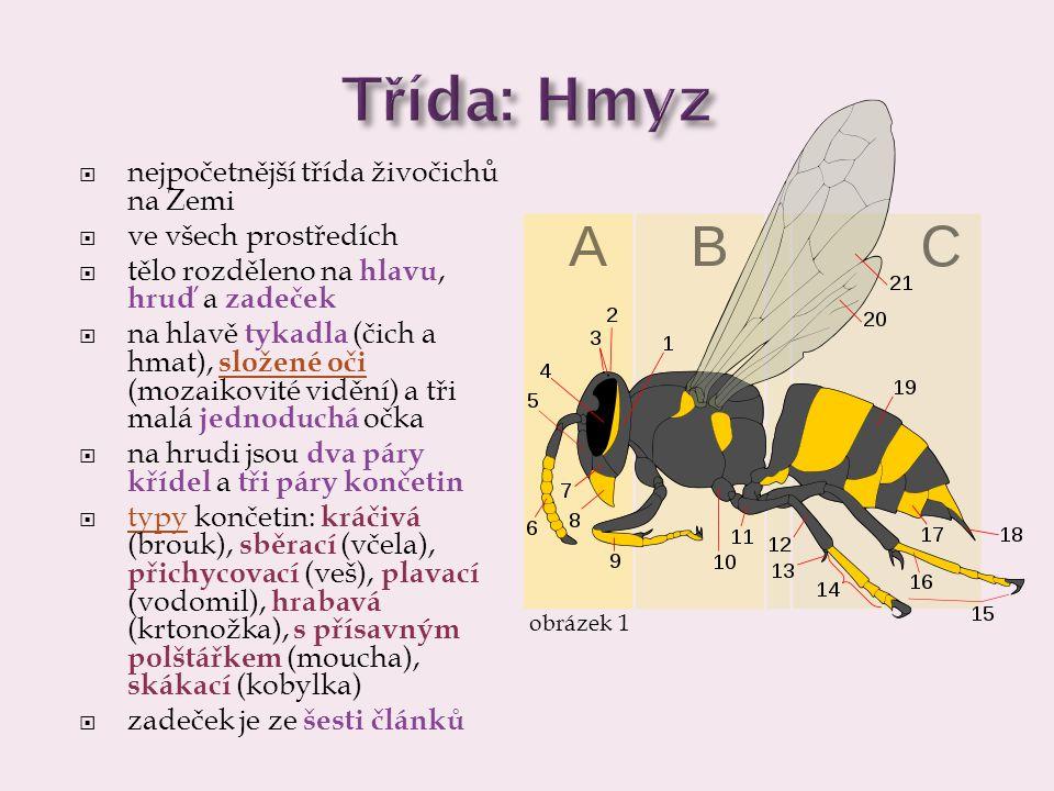 Třída: Hmyz  nejpočetnější třída živočichů na Zemi  všechna prostředí  tělo: hlava, hruď a zadeček  na hlavě tykadla (čich a hmat), složené oči (mozaikovité vidění) a tři malá jednoduchá očka  na hrudi dva páry křídel a tři páry končetin  typy končetin: kráčivá (brouk), sběrací (včela), přichycovací (veš), plavací (vodomil), hrabavá (krtonožka), s přísavným polštářkem (moucha), skákací (kobylka)  zadeček má šest článků