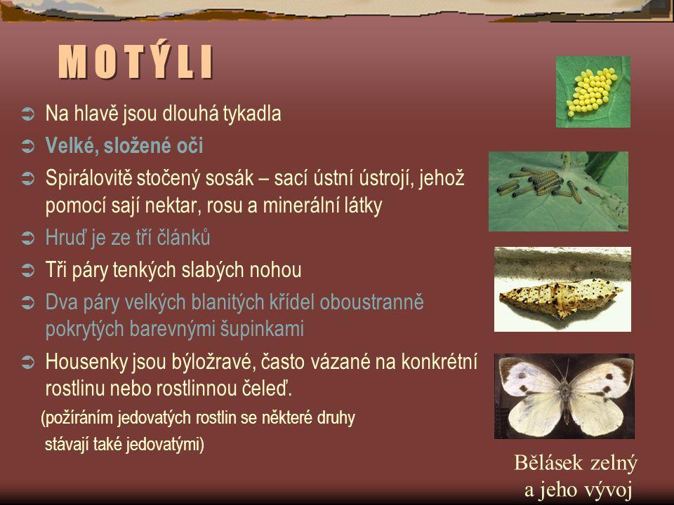 M O T Ý L I  Na hlavě jsou dlouhá tykadla  Velké, složené oči  Spirálovitě stočený sosák – sací ústní ústrojí, jehož pomocí sají nektar, rosu a min