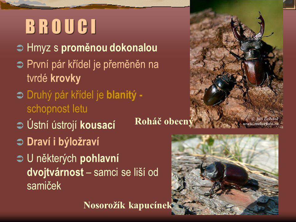 B R O U C I  Hmyz s proměnou dokonalou  První pár křídel je přeměněn na tvrdé krovky  Druhý pár křídel je blanitý - schopnost letu  Ústní ústrojí