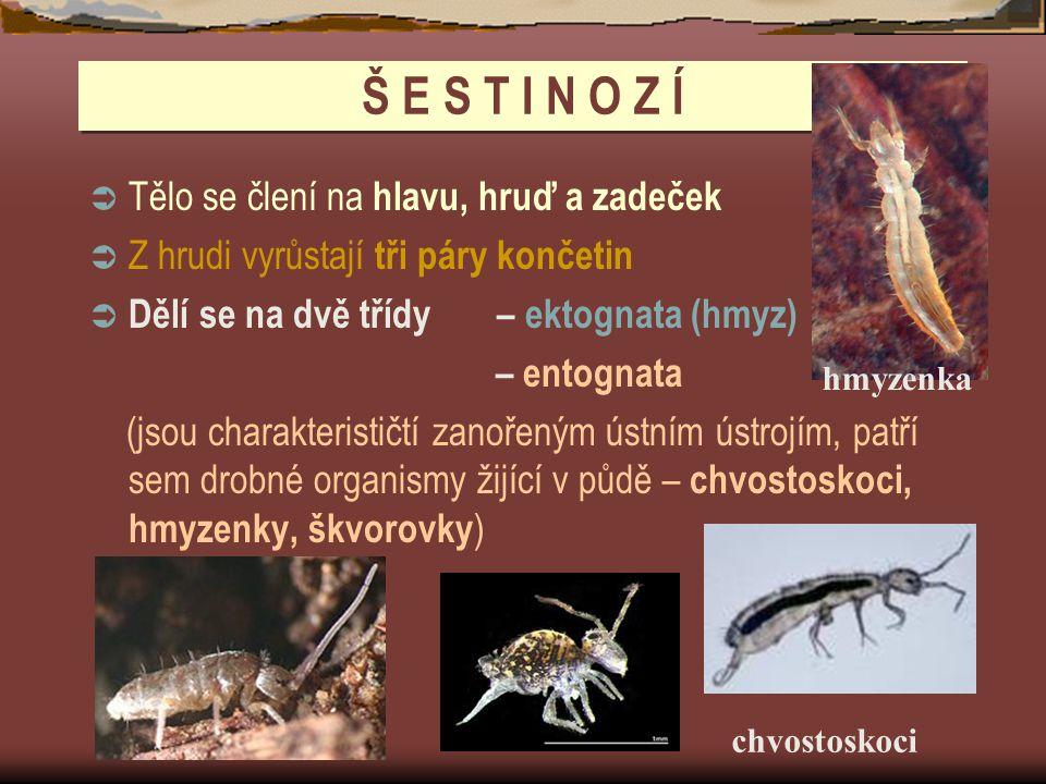 Š E S T I N O Z Í  Tělo se člení na hlavu, hruď a zadeček  Z hrudi vyrůstají tři páry končetin  Dělí se na dvě třídy – ektognata (hmyz) – entognata (jsou charakterističtí zanořeným ústním ústrojím, patří sem drobné organismy žijící v půdě – chvostoskoci, hmyzenky, škvorovky ) hmyzenka chvostoskoci