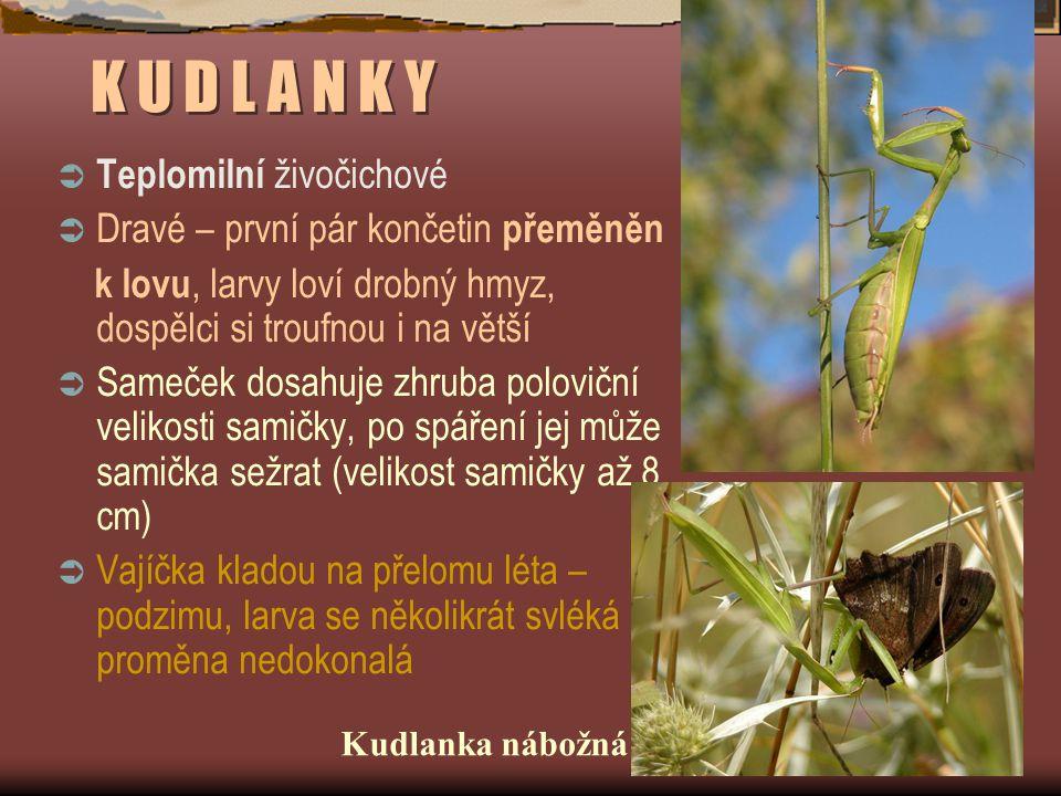 K U D L A N K Y  Teplomilní živočichové  Dravé – první pár končetin přeměněn k lovu, larvy loví drobný hmyz, dospělci si troufnou i na větší  Sameč