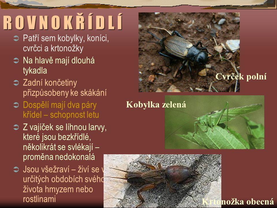 R O V N O K Ř Í D L Í  Patří sem kobylky, koníci, cvrčci a krtonožky  Na hlavě mají dlouhá tykadla  Zadní končetiny přizpůsobeny ke skákání  Dospělí mají dva páry křídel – schopnost letu  Z vajíček se líhnou larvy, které jsou bezkřídlé, několikrát se svlékají – proměna nedokonalá  Jsou všežraví – živí se v určitých obdobích svého života hmyzem nebo rostlinami Cvrček polní Krtonožka obecná Kobylka zelená