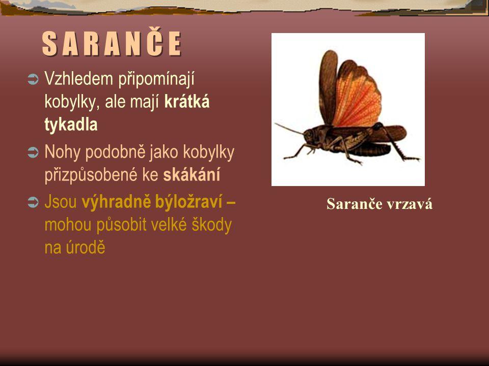 S A R A N Č E  Vzhledem připomínají kobylky, ale mají krátká tykadla  Nohy podobně jako kobylky přizpůsobené ke skákání  Jsou výhradně býložraví – mohou působit velké škody na úrodě Saranče vrzavá