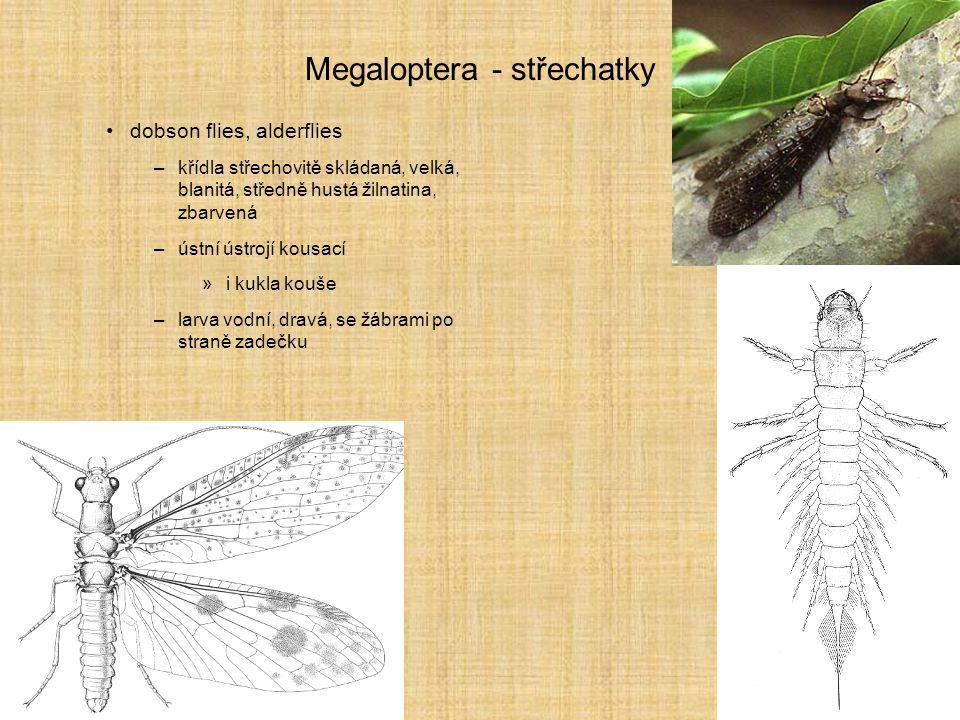 Megaloptera - střechatky dobson flies, alderflies –křídla střechovitě skládaná, velká, blanitá, středně hustá žilnatina, zbarvená –ústní ústrojí kousa