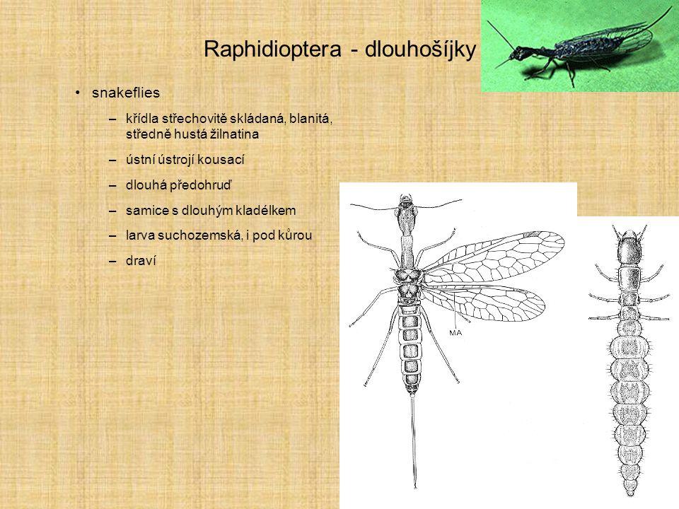 Raphidioptera - dlouhošíjky snakeflies –křídla střechovitě skládaná, blanitá, středně hustá žilnatina –ústní ústrojí kousací –dlouhá předohruď –samice