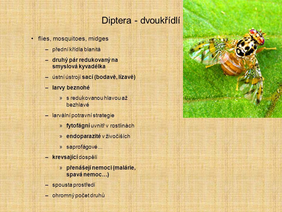 Diptera - dvoukřídlí flies, mosquitoes, midges –přední křídla blanitá –druhý pár redukovaný na smyslová kyvadélka –ústní ústrojí sací (bodavě, lízavě)