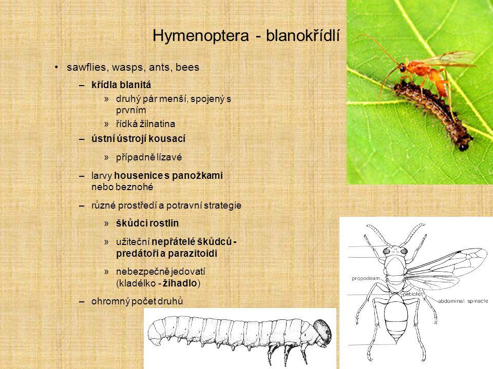 Hymenoptera - blanokřídlí sawflies, wasps, ants, bees –křídla blanitá »druhý pár menší, spojený s prvním »řídká žilnatina –ústní ústrojí kousací »příp